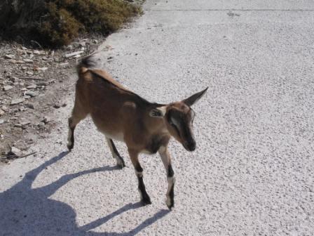 goat_oinoussa.jpg